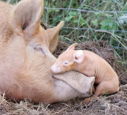 Tamworth-pig-and-piglet