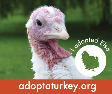 2014-Adopted-Turkeys-472x394-Elsa